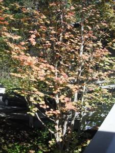 Vine Maple landscape