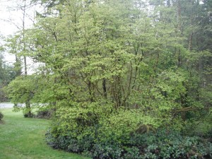 Vine Maple large