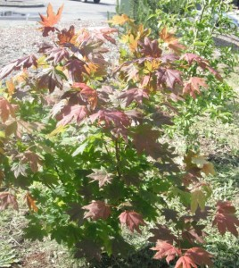 Vine Maple shrub