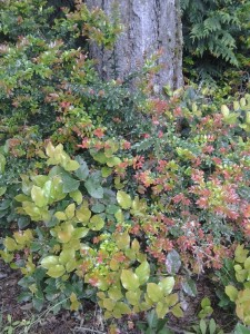 Salal and Evergreen Huckleberry are important greens for the floral industry.