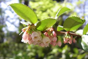 Small white or pinkish, bell shaped flowers as in this Evergreen Huckleberry, are typical for many ericads.