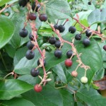 Gaultheria shallon berries