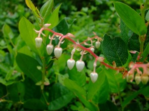Salal and insect