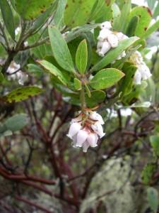 Arctostaphylos columbiana flowers