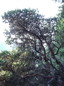 Hairy Manzanita can reach tree size. It has very interesting branching patterns.
