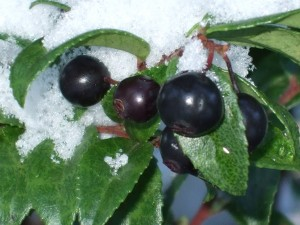 Evergreen Huckleberry fruit with snow