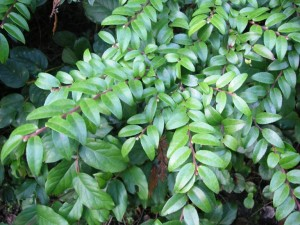 Attractive evergreen foliage is often used for floral arrangements