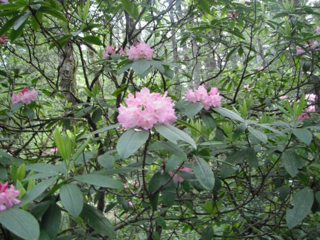 Pacific Rhododendron Rhododendron Macrophyllum Native Plants Pnw