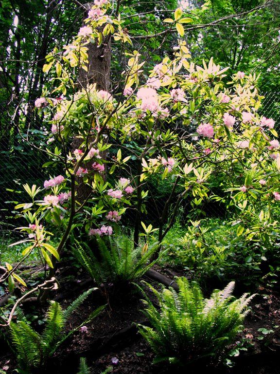 Rhododendron macrophyllum landscape