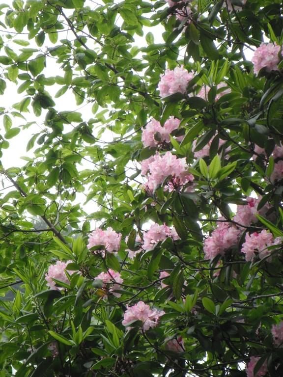 Rhododendron macrophyllum shrub