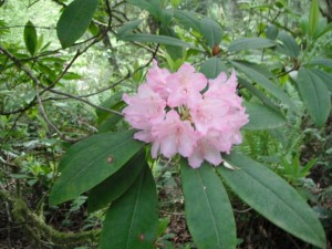 Rhododendron truss2