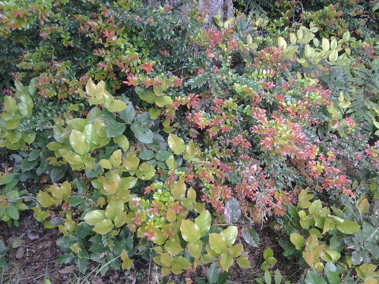 Evergreen Shrubs Native Plants PNW
