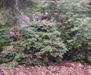 Vaccinium ovatum bush