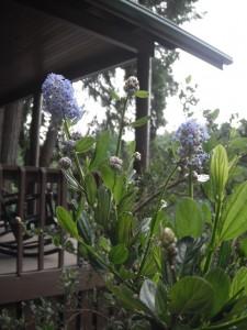 Blueblossum, Ceanothus thyrsiflorus,