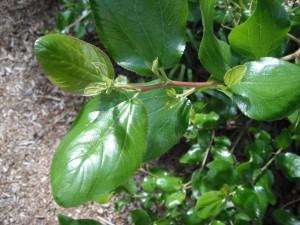 Ceanothus leaves