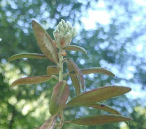The undersides of older Labrador Tea leaves are covered with rusty-brown fuzz. (Younger leaves may have whitish fuzz.)