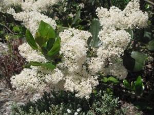 Snowbrush flowers