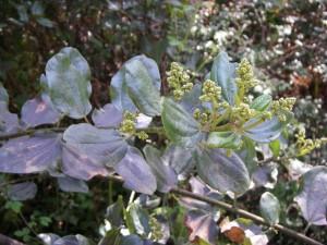 ceanothus flower buds