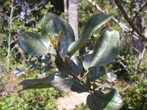 ceanothus leaves2
