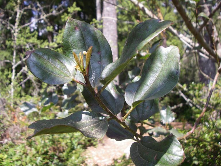 Snowbrush, Ceanothus velutinus   Native Plants PNW