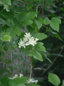 Clematis ligusticifolia flower