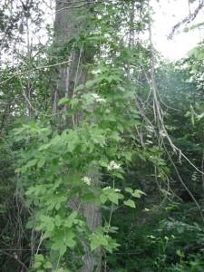Clematis ligusticifolia vine
