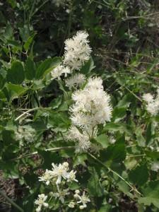 Clematis ligusticifolia2
