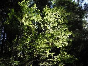Corylus cornuta large shrub