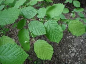 Corylus cornuta leaves