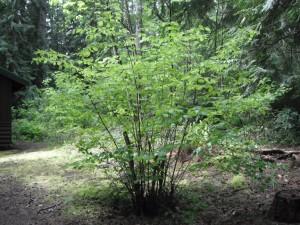 Corylus cornuta shrub