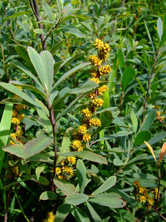 Sweet gale myrica gale native plants pnw - Flowers native to greece a sea of color ...
