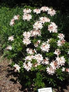Rhododendron occidenale bush