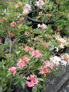 Western Azalea Hybrids in various colors.