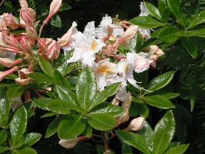 Rhododendron occidentale leaves