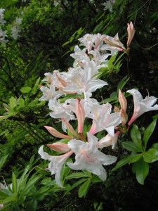 Rhododendron occidentale pink white flowers