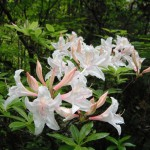Rhododendron occidentale pink white flowers2