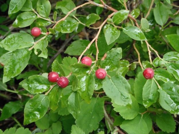 Labrador tea plant characteristics essay