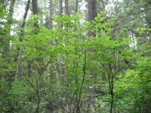 Vaccinium ovalifolium bush