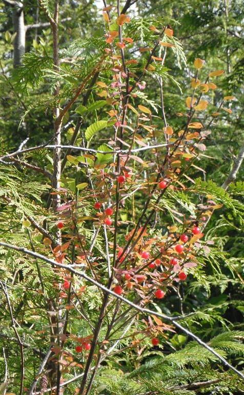 Vaccinium parvifolium berries
