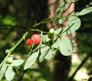 It is the only native upright Vaccinium with red berries.