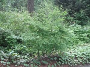 Vaccinium parvifolium bush