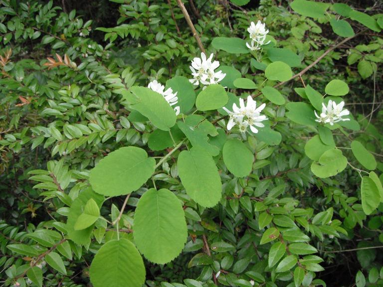 Amelanchier alnifolia & Vaccinium ovatum