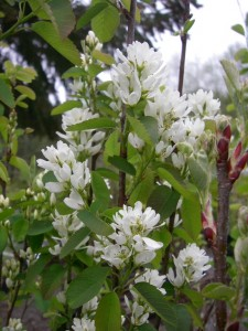 Amelanchier alnifolia flowers2