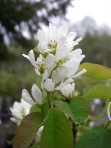 Amelanchier alnifolia flowers3