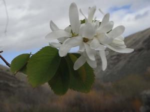 Amelanchier alnifolia flowers4