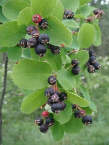 Amelanchier alnifolia fruit