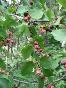 Amelanchier alnifolia fruit2