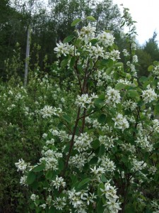 Amelanchier alnifolia shrub