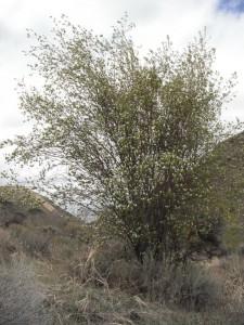 Amelanchier alnifolia shrub Ellensburg