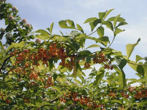 Indian Plum Oemleria Cerasiformis Native Plants Pnw